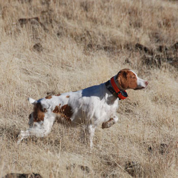 Zelda hunting chukar in Idaho